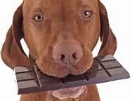 hund sjokolade
