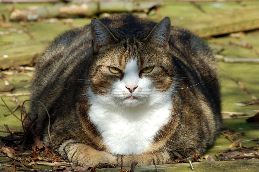 Overvektig katt